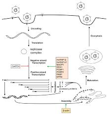 Viruses   Free Full-Text   Recent Progress in Studies of ...