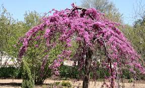 cercis weeping lavender twist