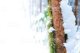 Ad Space On Green Moss Growing On Skinny Brown Tree Trunk With Snow Covering Right Side In A Forest Bog After A Snow Storm With Fluffy Snow Everywhere Stock Photo Download