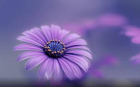 purple blue flower hd wallpapers