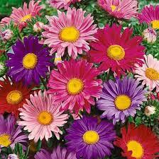 arti fakta menarik dari bunga aster tws florist
