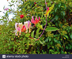 Various Honeysuckle And Ivy Vines Growing Up Chain Link Fence Stock Photo Alamy