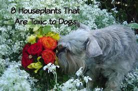 8 common houseplants that are poisonous