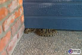 Photos Of Rattlesnakes In Northern California Placer Snake Removal