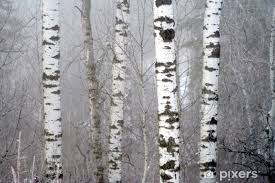 Winter Birch Trees Wall Mural Pixers We Live To Change