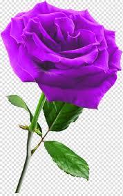 وردة زهرة أرجواني Png