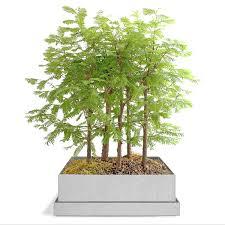 amazing bonsai trees bonsai tree gift kit