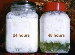 organic cultures dairy kefir grains