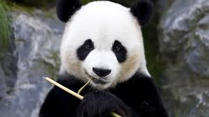 Scientists puzzled by pandas' black eye ...