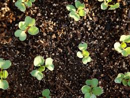 fertilizer for radishes diy