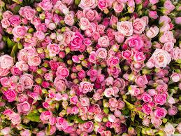 rosas cor de bando hd wallpaper