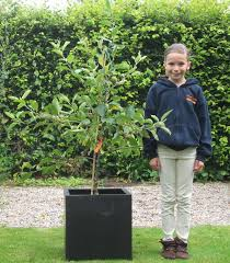 growing fruit trees in pots and containers