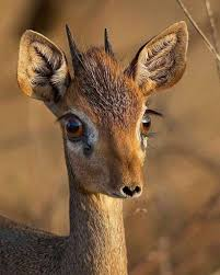 صور عيون غزال غزالة ما اجمل عيونها عجيب وغريب
