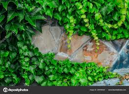 Ivy Stone Wall Background Place Text Greenery Stone Background — Stock  Photo © PiskovaPhoto #286769422
