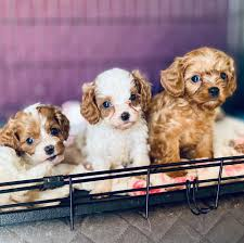 Heidi's Cavapoo & Cockapoo puppies Arizona Breeder - Posts | Facebook
