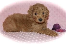 premium moyen poodle breeders in texas