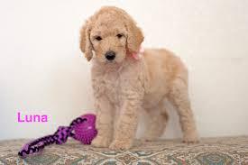 luna female poodle puppy in