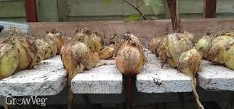 how to harvest and onions