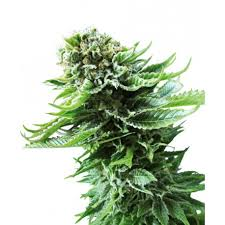 Buy Northern Lights Auto seeds online - Sensi Seeds - Seedmarket.com