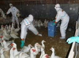 「鳥インフルエンザ」の画像検索結果