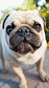 65 pug puppy wallpapers on wallpaperplay
