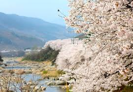 Lễ hội hoa anh đào tháng 4 ở Hàn Quốc 2020