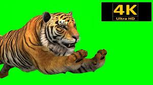 tiger chroma key 3d animation