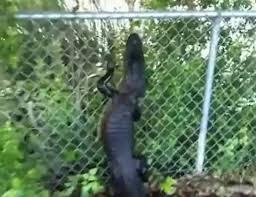 Ninja Gator Alligator Climbs Fence Gif By Gator426428 Gfycat