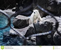 Polar Bear Behind Fence Stock Photo Image Of Fence 115533452