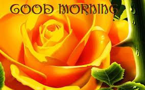 cool good morning photo rose
