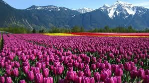 tulip flower garden wallpaper full hd