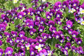 صور لـ زهور أرجوانية البنفسج كمان متوسط زهور الثالوث زهور