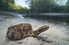 the cottonmouth snake everything you