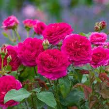 most fragrant english roses david