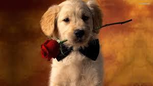 golden retriever puppy wallpapers