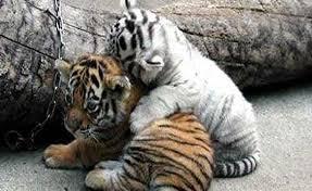 baby white tiger wallpaper picserio