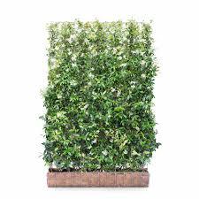 Star Jasmine Hedging Screen Trachelospermum Jasminoides 180cm High 120cm Wide Hedges Direct