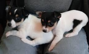 toy fox terrier puppy dog in
