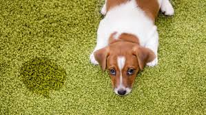remove yellow pet sns from carpet