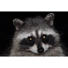 Peel N Stick Poster Of Cute Raccoon Masked Wildlife Mammal Varmint Poster 24x16 Adhesive Decal Walmart Com Walmart Com