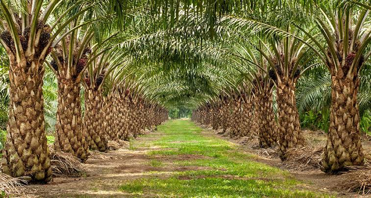 Increase In Oil Palm Plantations In Northeast India Feared To Negatively Impact  Environment