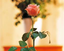 زهرة جميلة صور زهور روعه رسائل حب