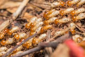 Download Baby Termite Ants Pictures