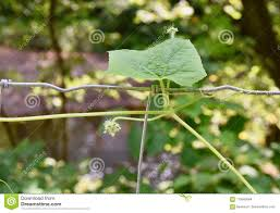 Bur Cucumber Vine Climbing A Wire Fence Stock Photo Image Of Green Oneseed 110560564