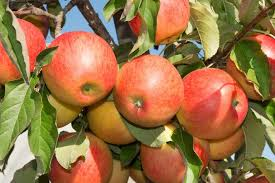 growing deciduous fruit trees apples