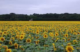 Pennsylvania sunflower fields and festival hit their peak - pennlive.com