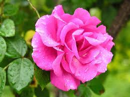 لوس أنجلوس معروف أسعار التخليص صور الورد الجميل Shpe Fresno Org