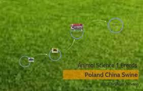 Poland China Swine by Christian Newton