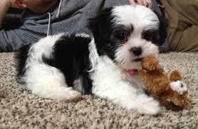 Shih tzu puppy ...