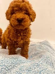 toy poodle chion bloodline
